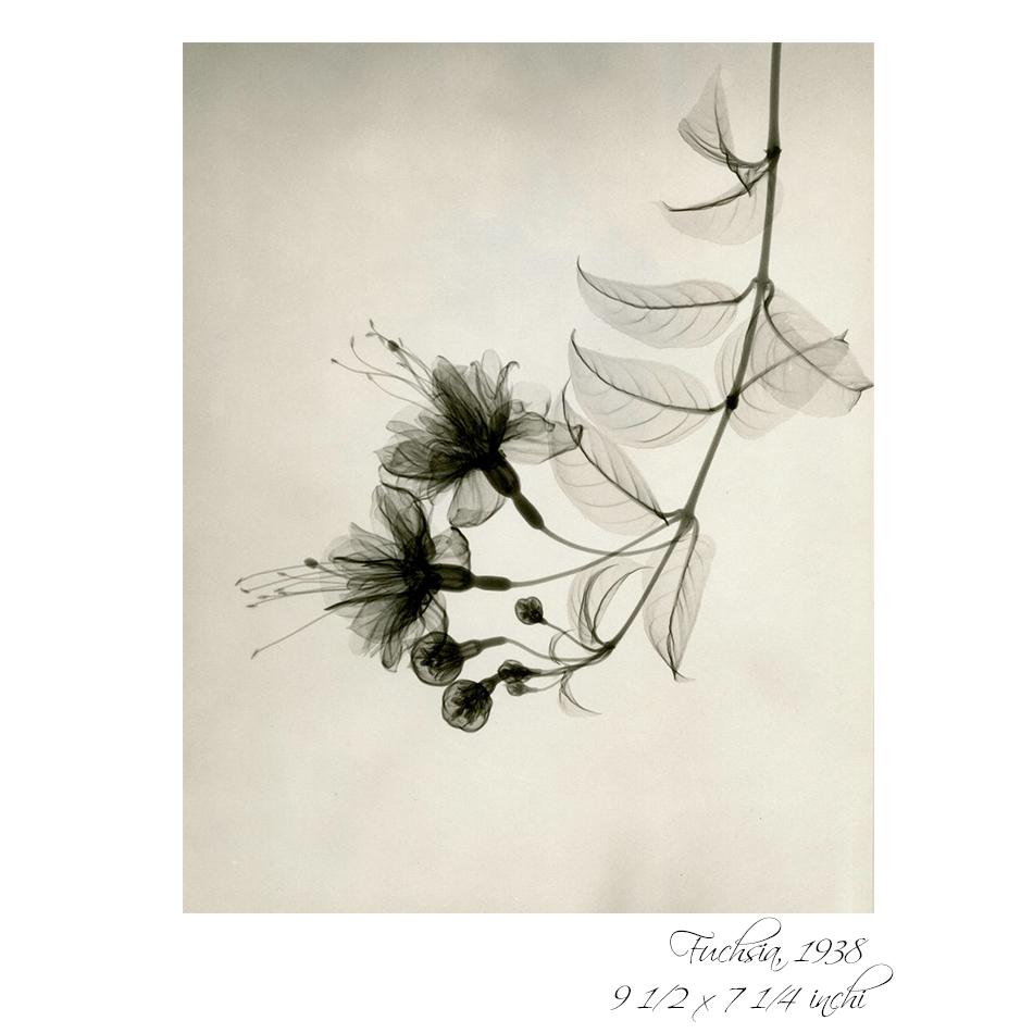 radiografia florilor 1