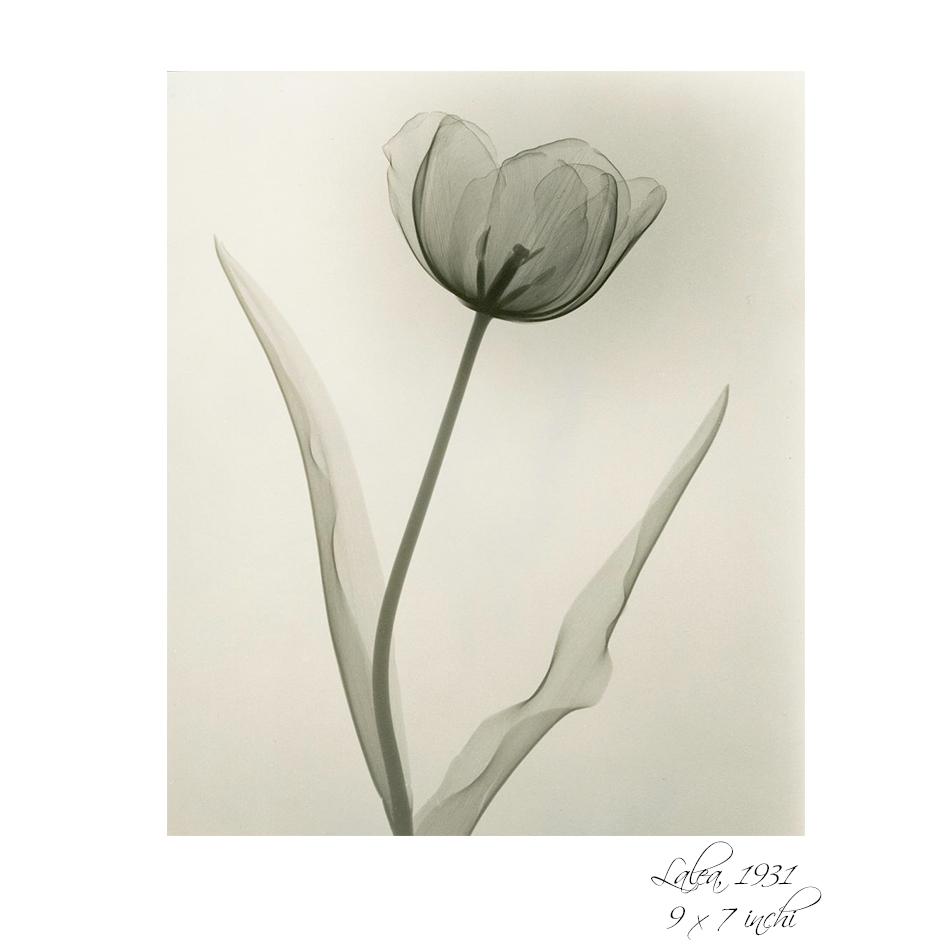 radiografia florilor 3