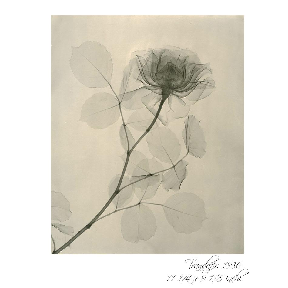 radiografia florilor 4